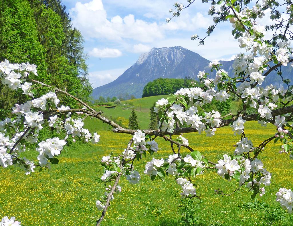 Blühender Kirschbaum mit Alpen im Hintergrund
